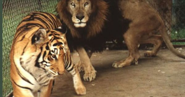 Tiger versus Lion | Images of Tiger and Lion Encounters in ...