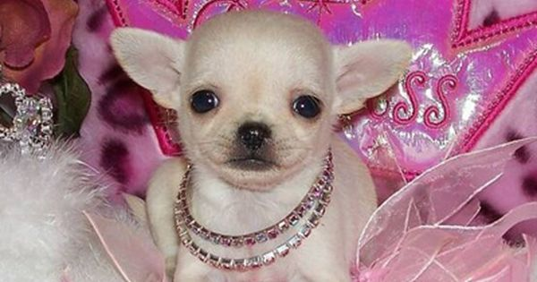 A Princess Puppy So Cute Chihuahua Puppies Cute Chihuahua