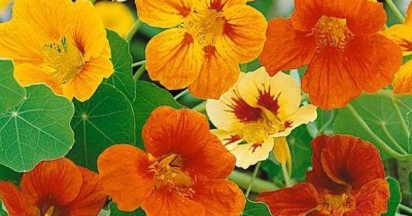 Nasturtium Trailing Mixed Mr Fothergills Flower 35 Seeds