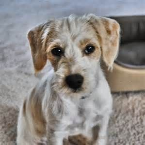 Beagle Poodle Mix Bing Images Poodle Mix Breeds Beagle Poodle