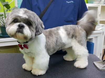 Asian Fusion Styling Pampered Pets Puppy Grooming Dog Grooming Styles Shih Tzu Dog