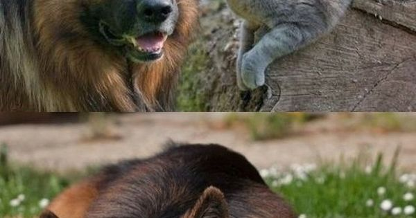 Best friends: German shepherd & Cat. This is so so sweet and