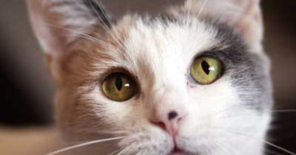 Emerald Eyes Cute Kitty Gaze Star Is The Perfect Pet For A Quiet Cat Lover You Can Adopt Her In Sandiego Cali Pretty Cats Cat Adoption Pet Adoption