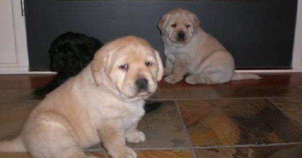 The Daily Puppy Photo Labrador Retrivier Labrador Labrador Retriever