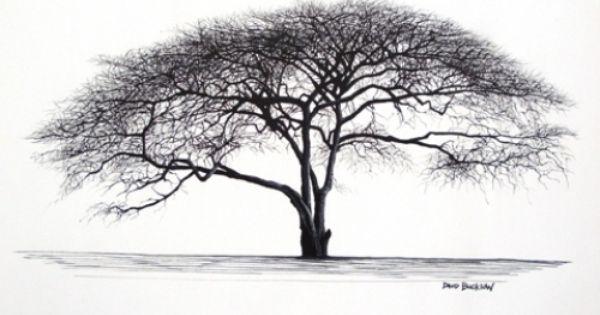Umbrella Thorn Tree David Bucklow Art Pinterest
