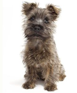 Tiny Toy Dog Names Dog Breeds That Dont Shed Dog Names Cairn