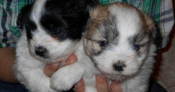 Gorgeous Shih Mo Puppies 2 Brothers Puppies Dogs Puppies For Sale
