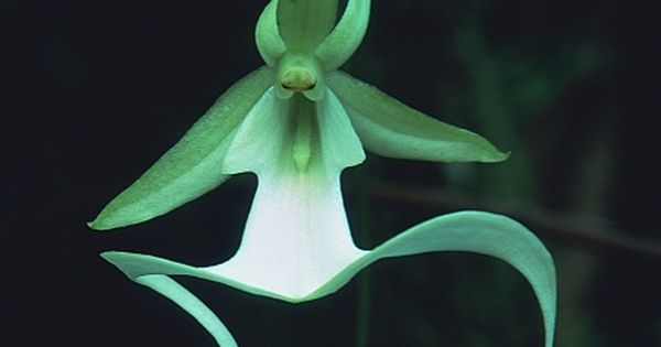 Ghost Orchid floating in mid air