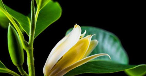 Mitos Mistis Bunga Cempaka Putih Bunga Putih Bali