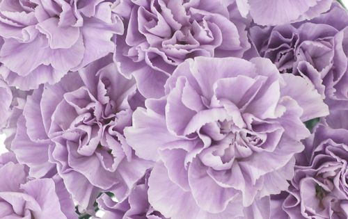 Lavender Light Purple Carnation Flowers Fiftyflowers Com Purple Carnations Carnation Flower Light Purple Flowers