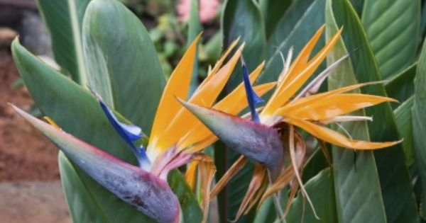 Bird Of Paradise Growing Conditions Caring For Outdoor Bird Of Paradise Plants Birds Of Paradise Plant Paradise Plant Birds Of Paradise Flower