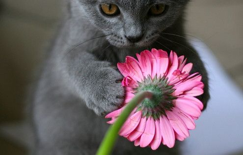 2 of my favorite things: grey kitten and pink flower