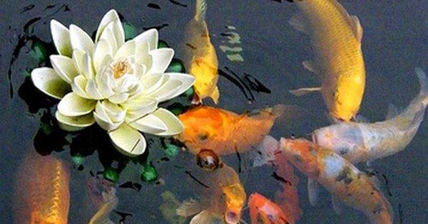 Koi carp the definitive guide to a diy pond gardens for Ornamental pond fish golden