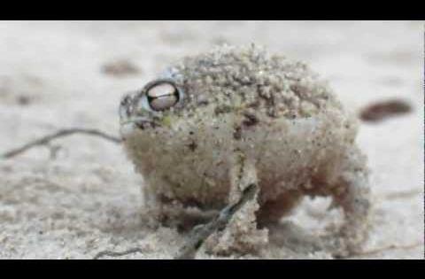 Worlds Cutest Frog - Desert Rain Frog - Namaqua rain frog (breviceps