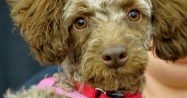 Meet Simon A 5 Months 9 Days Poodle Miniature Available For Adoption In Colorado Springs Co