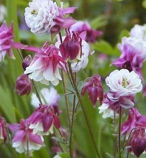 Fruhe Stauden Fur Den Bauerngarten Mein Schones Land Bloggt Blumen Fur Garten Garten Garten Pflanzen