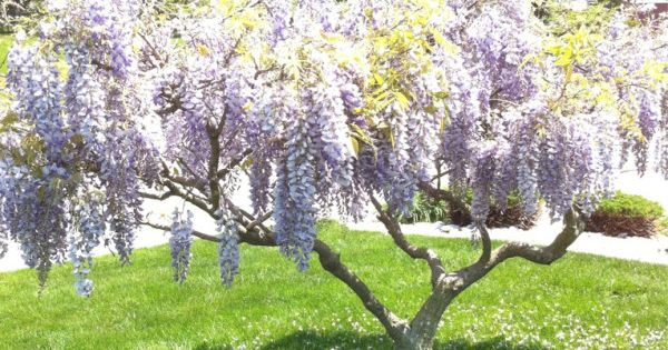 Weeping Lilac Tree Reminds Me Of Mississippi Where I D