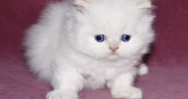 Persian Cat Kitten Cute Cats And Dogs Cats And Kittens Persian Kittens