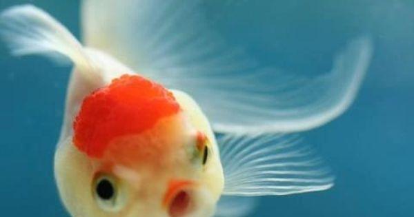 That same look when i bring home a new betta fish for Cute betta fish