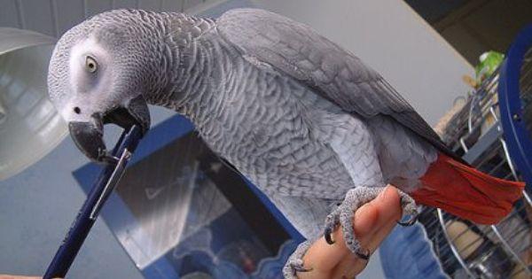 Talking Africa Grey Parrots سوهاج 255400 African Grey Parrot African Grey Parrot
