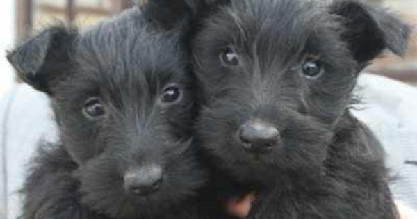 Scottish Terriers Scottie Puppies Scottish Terrier Puppy