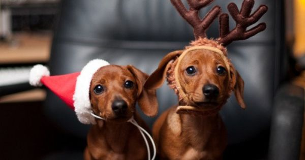 I NEED to wiener dogs in holiday apparel!