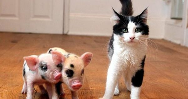 A couple of micro pigs stand next to a cat. The pigs
