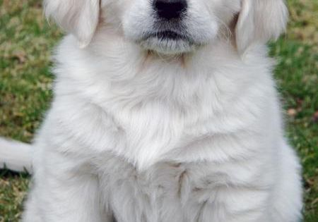 White Golden Retriever Puppy -- my next dog!