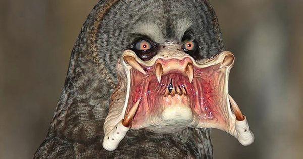 Predator Owl Funny Owl With Predator Eyes And Mouth