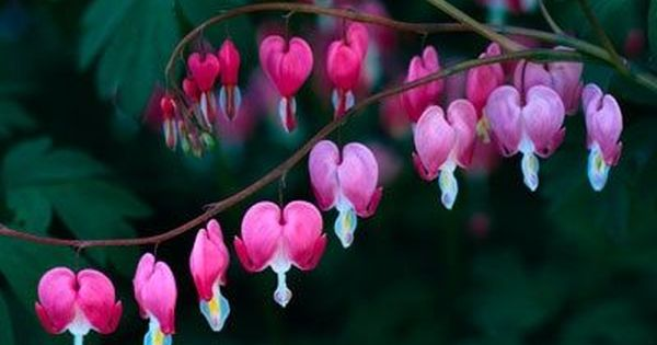 Bleeding Hearts I Want These In My Garden So Bad Must Research To Know The Best Place To Put Them Bleeding Heart Flower Flowers Perennials Bleeding Heart