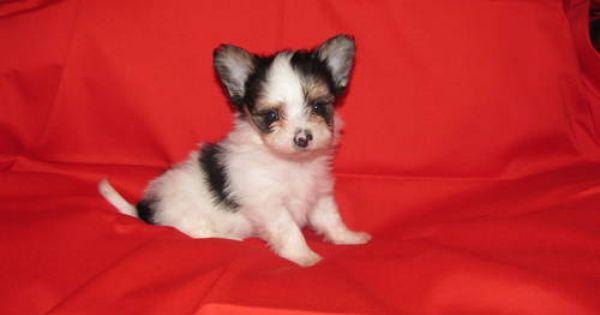 Morkie Puppy For Sale In Houston Tx Adn 43143 On Puppyfinder Com
