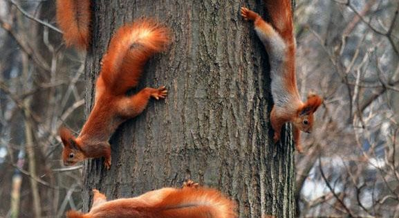 Red Squirrel Family Tree: Vitali Bondar.