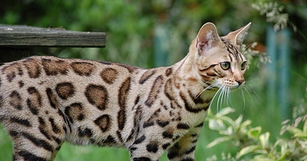 Wild Beach Bengal Cat Breeder Bengal Cats For Sale Brown Spotted Bengal Kittens And More Bengal Cat For Sale Bengal Cat Price Bengal Cat