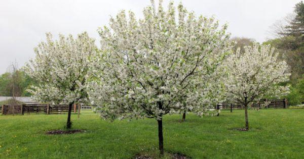 White Flowering Crabapple Tree Matt Amp Jo Home Plans