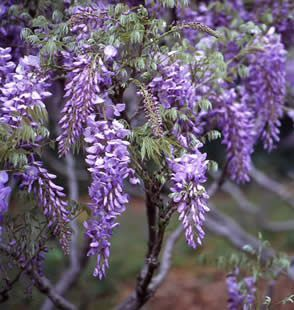Wisteria To Produce Flowers Prune To 4 6 Buds After Bloom In Summer Then To 2 Buds During Winter Fleurs Jardins Glycine