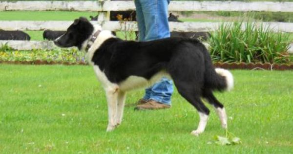 3 4 Border Collie 1 4 Catahoula Litter For Sale For More