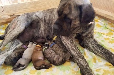 Mastiff Puppy For Sale In Cutler In Adn 31465 On Puppyfinder Com Gender Male Age 1 Week O Mastiff Puppies Mastiff Puppies For Sale English Mastiff Puppies