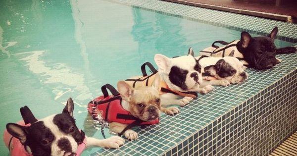 French bulldog water aerobics.