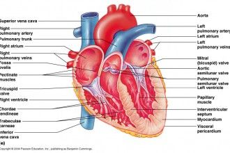 Organ 4 Fetal Pig Dissection Lab Simulator Heart Heart Anatomy Human Anatomy And Physiology Heart Diagram