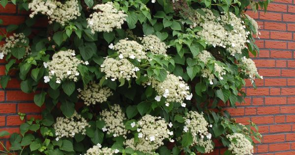 hydrangea anomala kletterhortensie schatten kletterpflanze pflanzen f r ost terrasse. Black Bedroom Furniture Sets. Home Design Ideas
