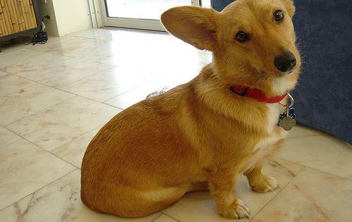 Dorgi Pw Corgi Dachshund Mix Info Temperament Care Puppies