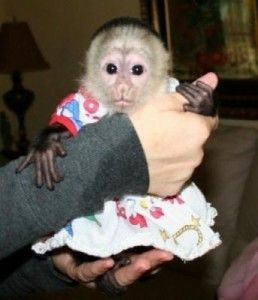Gorgeous And Adorable Capuchn Monkey For Free Adoption Allentown Pa Asnclassifieds Cute Baby Monkey Capuchin Monkey Pet Monkey