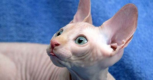 Pin By Rick Cathey On Photography ʕ ʔ Animals Birds Hairless Cat Egyptian Cats Cats And Kittens