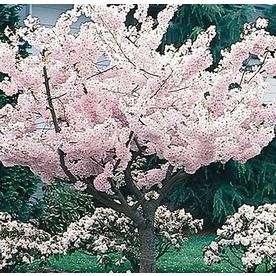 Shop 3 25 Gallon Yoshino Flowering Cherry Flowering Tree L3234 At Lowes Com Flowering Trees Potted Trees Deciduous Trees