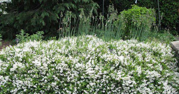 achat deutzia gracilis nikko jeune plante en motte ou alv oles deutzia gracilis nikko est un. Black Bedroom Furniture Sets. Home Design Ideas