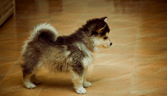 Pomsky Puppies We are Pomskies Lovers