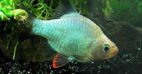 Green Platinum Tiger Barb Med Ikan Akuarium Ikan