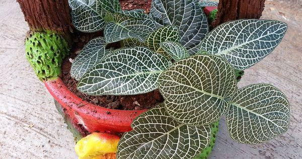 Fotograf as de la fittonia o fitonia una planta for Una planta ornamental