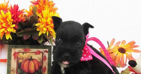 Priss Schnauzer Miniature Puppy For Sale Near Dallas Fort Worth Texas 39cdb809 6711 Miniature Puppies Puppies Puppies For Sale