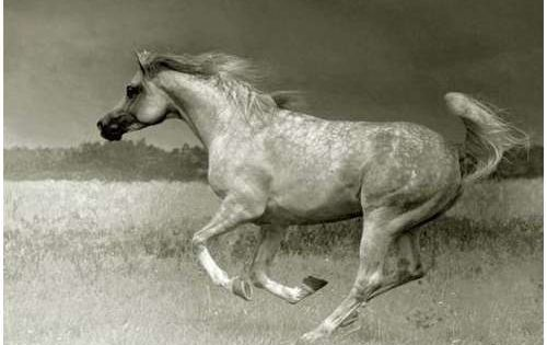 Arabian horse. Dished face, wide of nostril, short coupled ...